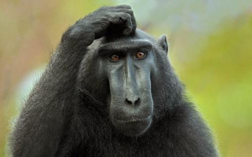 confused monkey